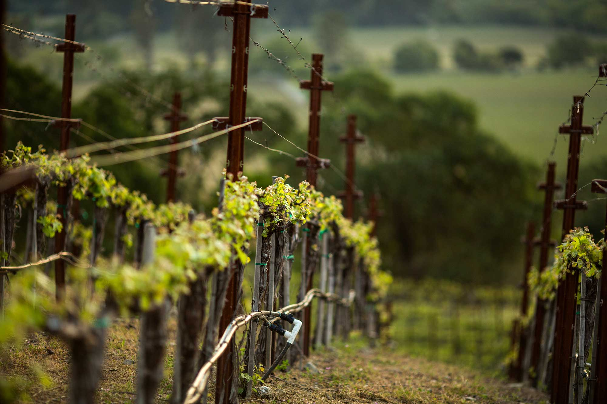 A vineyard row at Keever Vineyards in Yountville, California